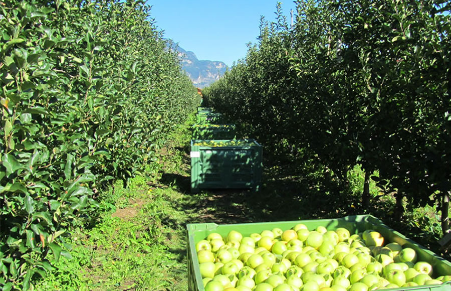 Agritur val d 39 adige agriturismo a trento a 2 km dalla citt - Mele fuji coltivazione ...